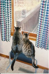 Cats watching a squirrel (Stabbur's Master) Tags: cats ikea squirrel footstool catsinwindow cc200 cc100