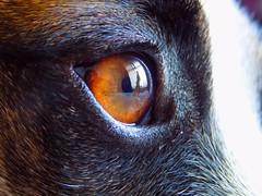 Harley dog (colleen buchanan) Tags: reflection jackrussell dogeye l330