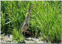 TRARABUSINO (f) - (Ixobrychus minutus) (ric.artur) Tags: nikon natura ali piemonte naturalmente volatili tarabusino