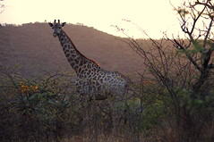 One of my favourite animals (KatieAmey) Tags: africa sunset wild beautiful animal sunrise landscape southafrica african katie safari tall giraffe amey
