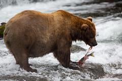 Brown bear eating salmon (Kenneth Kearney) Tags: bear nature nationalpark fishing eating wildlife salmon brownbear brooksfalls katmai brooksriver katmainationalpark