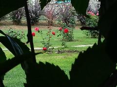 Greece is... (sifis) Tags: flowers red rose garden greece sakalak