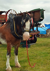 Shire Horse, at Emley Show (littlestschnauzer) Tags: show uk horses horse west animals rural work countryside big yorkshire large august event strong shire moor heavy equine emley 2015
