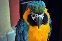 Colorfull bird (Dimitris Georgitzikis) Tags: blue colors yellow parrot macao