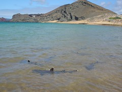 White tip reef sharks, Galapagos
