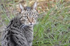 LeyGa auf der Pirsch * LeyGa the stalker * LeyGa en el vagabundeo * (Makro/Macro)    . _DSC5403-001 (maya.walti HK) Tags: 2016 animales animals cats copyrightbymayawaltihk flickr gatos katzen leyga macro makro nikond3200 tiere 271216