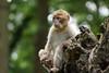 little monkey, Barbary Macaque, Berberaffe (okrakaro) Tags: littlemonkey barbarymacaque berberaffe root baumwurzel bokeh animal nature natur zoo rheine juni 2014 germany portrait