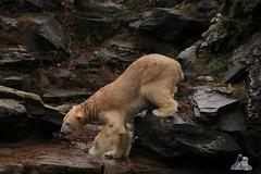 Tierpark Berlin 26.12.2017 049 (Fruehlingsstern) Tags: eisbär polarbear wolodja rothund nashorn stachelschwein tierparkberlin canoneos750 tamron16300