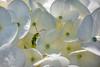 _MG_6365-a-1.jpg (Ernesto Eugenio Bellotto) Tags: uniãodavitória flores vaquinha branca insetos 2013 hortência n