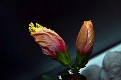 Hibiskuspracht...... (Oldtimer -2016) Tags: natur farbenpracht farbe color blüten blüte blume pflanze flora all hibiskus