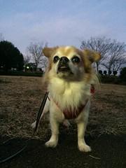 ピノ2017-01-23 06.34.49 (やんちゃなちわわ) Tags: ピノ pino 犬 dog チワワ chihuahua