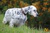 Harem (Istinto del Lupo) Tags: setter setteringlese englishsetter allevamento cani dog pet animali caccia animalidomestici