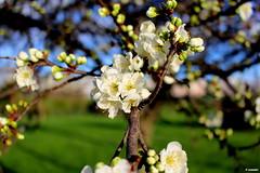 1.118 - Thinking of Spring (esnalar) Tags: canon700d flor flores flora naturaleza primavera flower flowers nature spring