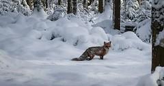 """Der Fuchs. Die Füchse. Ein Fuchs im verschneiten Wald. • <a style=""""font-size:0.8em;"""" href=""""http://www.flickr.com/photos/42554185@N00/31840919422/"""" target=""""_blank"""">View on Flickr</a>"""