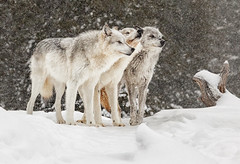 Three Grey Wolves in the Snow (David Jones 2) Tags: grey wolves wolf gray yellowstone monatana usa snow winter dave jones