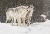 Three Grey Wolves in the Snow (David Jones 2) Tags: grey wolves wolf gray yellowstone monatana usa snow winter dave jones