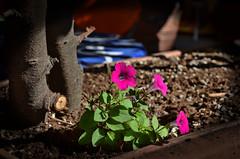 Petunie in luce. (Turm 2) Tags: petunie fiori rosa acceso luce su piante fioriere verde vaso tronco albero
