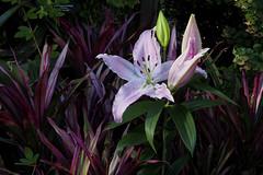 lillies at Longwood Gardens (tcd123usa) Tags: longwoodgardens pennsylvania leicadlux4 winter2017