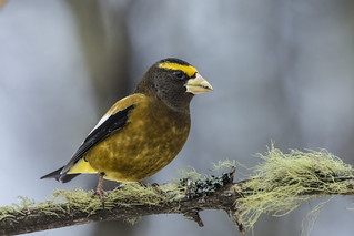 Evening Grosbeak (M)