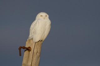 Snowy (male)