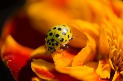 Composition  flowers orange (Doriane Boilly) Tags: flowers orange coccinelle insecte jardin couleur prairie