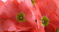 22-IMG_9343 (hemingwayfoto) Tags: balkon becherprimel blühen blüte blume flora garten gartenblume gewächs macro natur pflanze pink primel