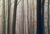 Ashridge Mist I (meniscuslens) Tags: ashridge national trust forest wood trees leaf leaves mist buckinghamshire