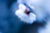 Japanese apricot 梅 03 (sunuq) Tags: ef100mmf28lmacroisusm canon eos 5dsr ef100mm macro 梅 apricot plum japaneseapricot 皇居 東御苑 tokyo japan 東京 日本 ボケ bokeh plant blossom