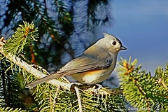 Tufted Titmouse (--Anne--) Tags: titmouse tufted bird birds nature wildlife animal spruce pine tree