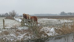 Horses (=Mirjam=) Tags: iphone7 devoert bergennh horses winter landscape meadows cold frost snow fence hff friday februari 2017