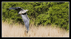 IMG_0015 Grey Heron In Flight (Scotchjohnnie) Tags: nature photoshop canon wildlife waterbird ardeacinerea canoneos ornithology greyheron northeastengland canonef70300mmf456isusm canon7dmkii scotchjohnnie