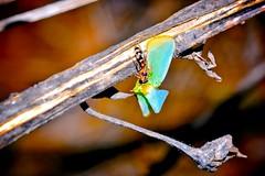 Worker Pseudomyrmex ant with flatid planthopper prey (donjuanmon) Tags: macro nature closeup insect worker prey planthopper hcs flatid clichesaturday donjuanmon pseudomyrmexant
