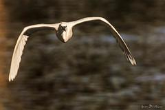 Aigrette garzette (Egretta garzetta) (yann.dimauro) Tags: france fr oiseau rhone aigrette rhônealpes givors aigrettegarzette