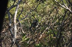 New Zealand Pigeon - Tiri Tiri Matangi