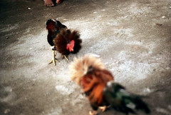 27-268 (ndpa / s. lundeen, archivist) Tags: bali color bird film birds 35mm indonesia nick cock arena dirt southpacific rooster cocks 1970s 27 1972 roosters indonesian cockfight gamecock gamecocks dewolf oceania pacificislands cockfighting nickdewolf photographbynickdewolf cockfightingarena reel27 cockfightarena