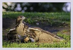 """Dot"" mantling a stick (Christian Hunold) Tags: bird philadelphia hawk raptor redtail birdofprey redtailedhawk mantling rotschwanzbussard christianhunold"