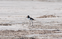 Teen Oystercatcher (martytdx) Tags: birds lifelist nj stoneharbor oystercatcher immature shorebird americanoystercatcher haematopuspalliatus haematopus haematopodidae stoneharborpoint