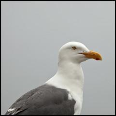 Sea Gull; Port Orford #1 (hamsiksa) Tags: usa beach birds fog oregon pacific gulls sealife shore pacificnorthwest tidepools seabirds northwestcoast seastacks marielife