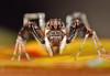 Brettus adonis (karthik Nature photography) Tags: color macro nature animals closeup forest garden photography spider spiders wildlife jumpingspider macrophotography salticidae macroworld animalworld spiderworld insectphotography canonmpe65 macrolife malejumpingspider canon5dmark3 colorfuljumpingspider beautifuljumpingspider jumpingspidersinindia brettusadonis