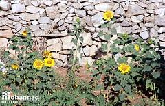 (Mohannad Najjar) Tags:  helianthus annuus helianthusannuus