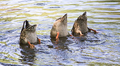 Synchronized Ducks (Pauline Brock) Tags: birds ducks diving waterfowl mallards ducktailsnature