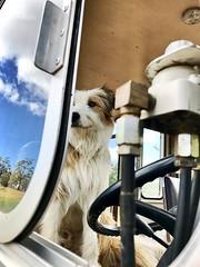 The Driver (Alden Lim) Tags: dog mammal dogs friend driver bus brown australia hobart farm tasmania woof seat wheel billy