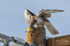 Prairie Falcon dines on Western Meadowlark