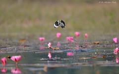 Painting... (Anirban Sinha 80) Tags: nikon d610 500mm ed vr ii n bokeh bird take off flight lotus