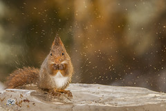 wet and icy (Geert Weggen) Tags: red nature animal squirrel rodent mammal cute look closeup stand funny bright sun backlight ice winter snow christmas holiday love tender valentine day feeling beauty admire happy splashingwater geertweggen geert hardeko jämtland ragunda bispgården