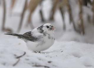 Leucistic Dark eyed junco