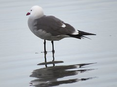 227: Heermann's Gull, Larus heermanni (aking1) Tags: birds heermannsgull larusheermanni sandiego california unitedstates