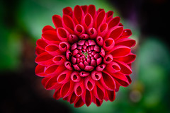 Red Dahlia (christianschmaler) Tags: dahlia flower dahlie dahlien blume closeup