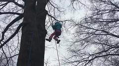 Video - girl climbs tree 2 (Montgomery Parks, MNCPPC) Tags: treeclimbing woodsidepark january2017 2017