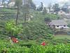 Tea Plantation, Nuwara Eliya, Sri Lanka (geoff-inOz) Tags: nuwaraeliya tea plantation srilanka heritage ceylon women pickingtea teapickers